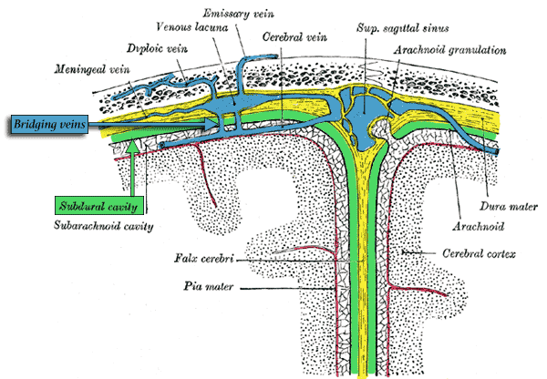 Bridging veins cross from the surface of the cerebral convexities through the subdural space to empty into venous sinuses in the dura, and ultimately into the superior saggital sinus.