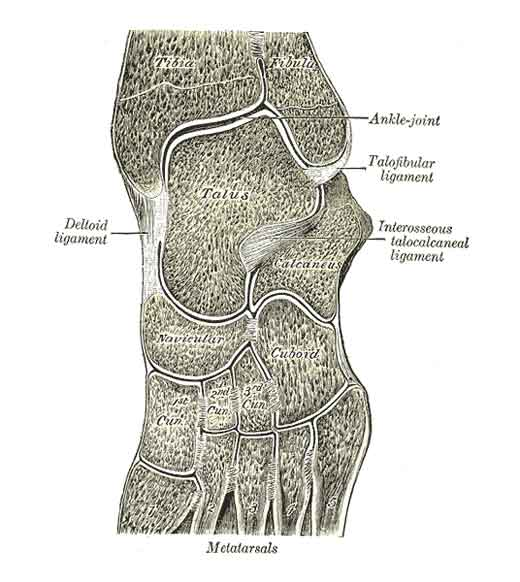 Oblique section through the ankle joint and first part of foot.