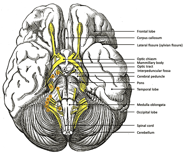 Structures at the base of the brain Image source (adapted from): en.wikipedia.org/wiki/File:Gray724